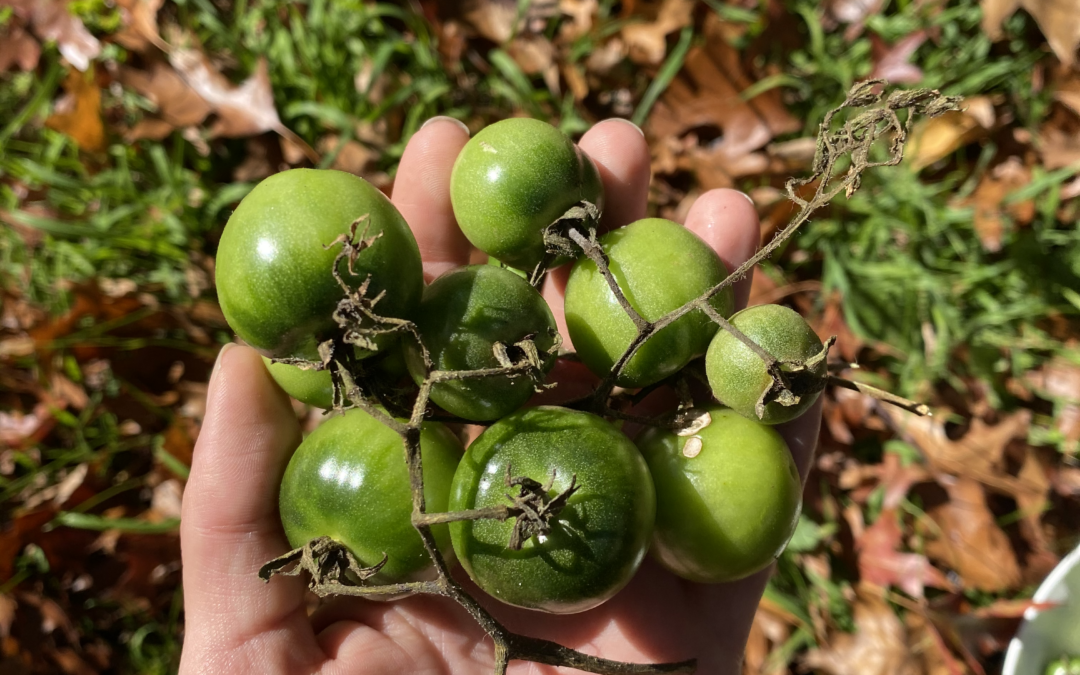 Green Tomatoes 101: How To Eat These Under-Appreciated Gems